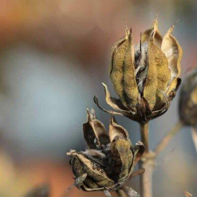 Trockene Samenstände eines Hibiskus