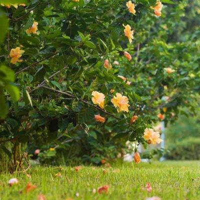 Orange blühender Hibiskusstrauch im Garten