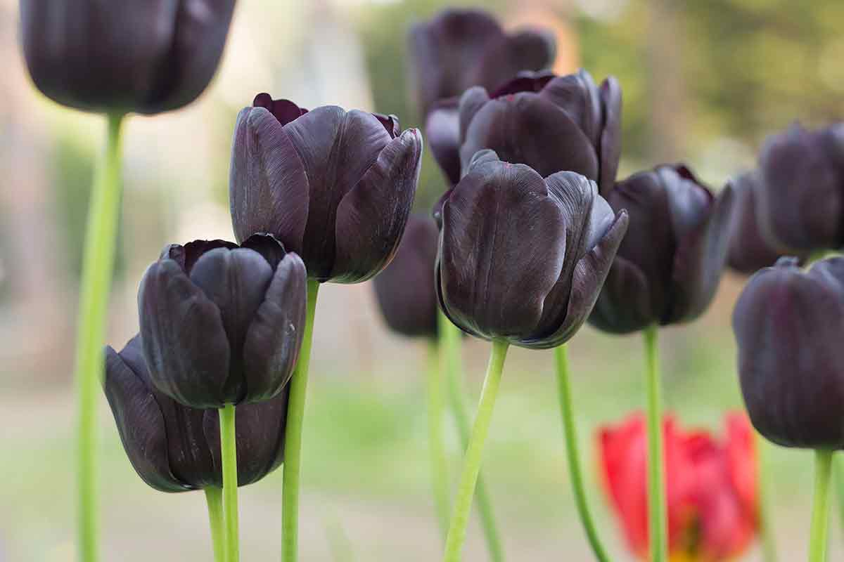 Triumph-Tulpe Balck Gothic