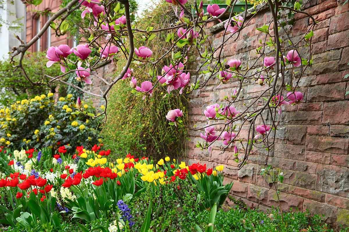 Tulpen und Tulpenmagnolie