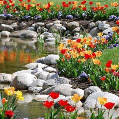 Tulpen am Rand eines Teiches