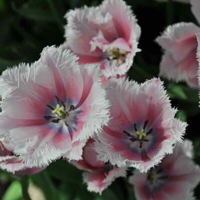 Crispa-Tulpen mit Fransenrand