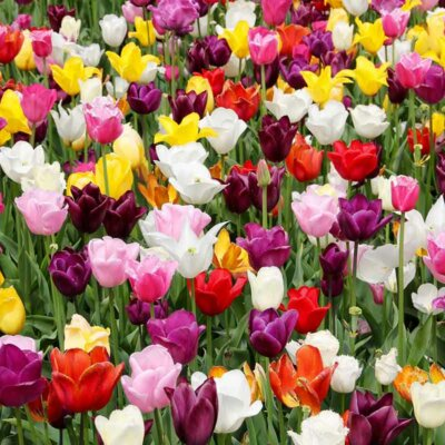 Tulpen verschiedener Formen und Farben