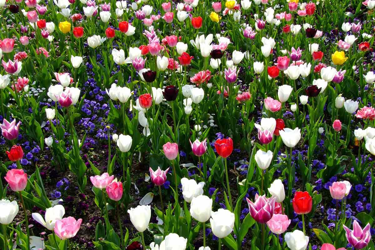 Gemischte Tulpen im Frühlingsbeet