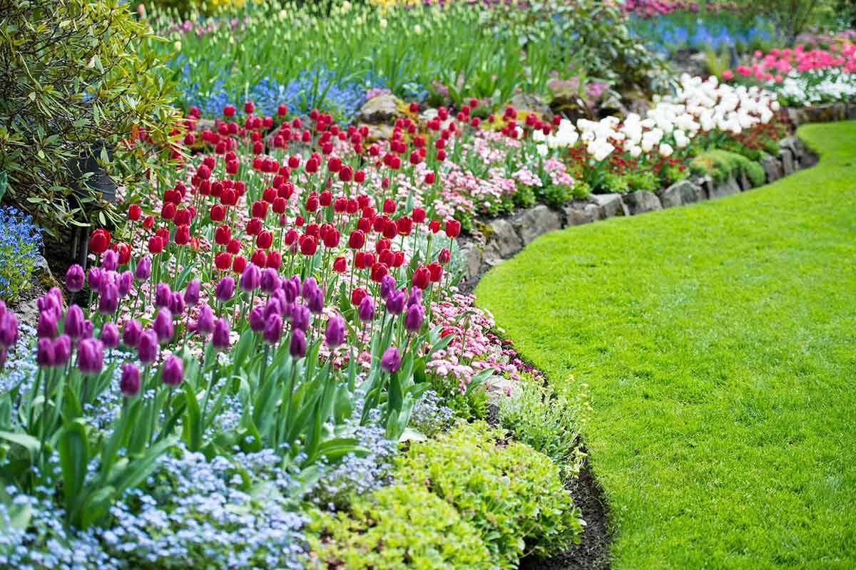 Tulpen im umrandeten Beet