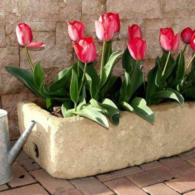 Tulpen in einem Steinkübel