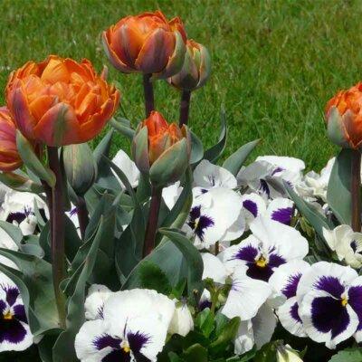 Tulpen in Kombination mit Stiefmütterchen