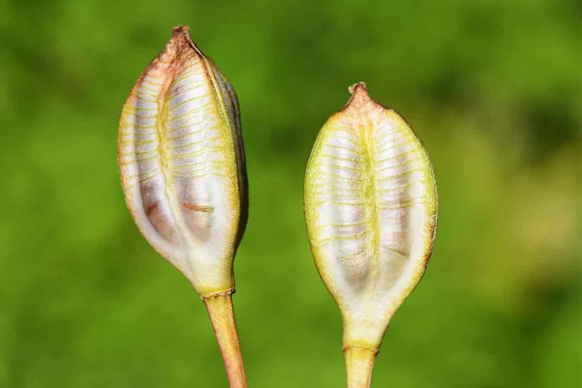 Samenkapseln einer Tulpe
