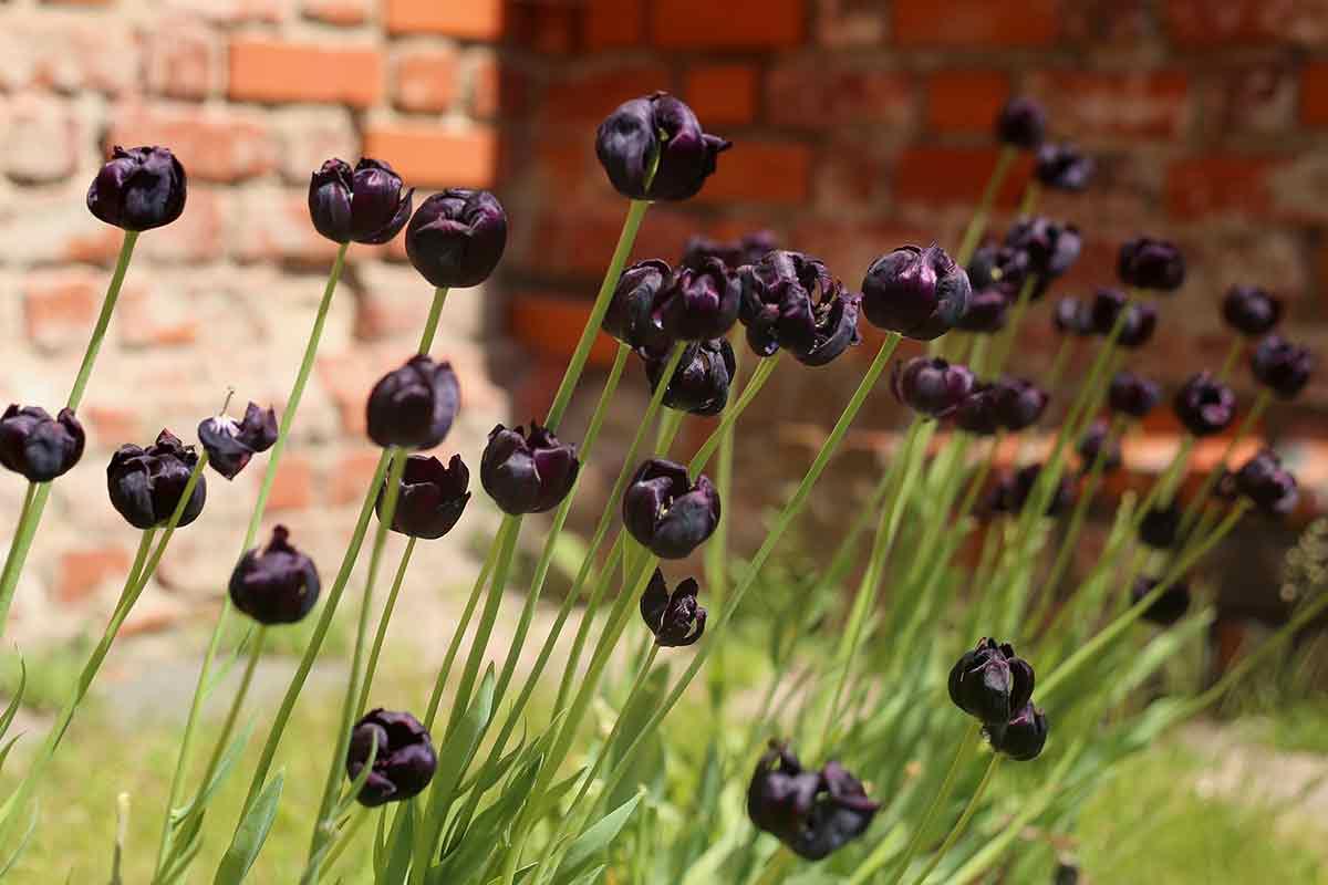 Schwarze Tulpen vor Mauer