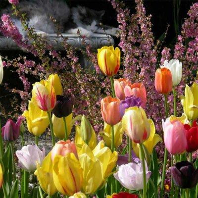 tulpen-verschiedene-farben-vor-strauch