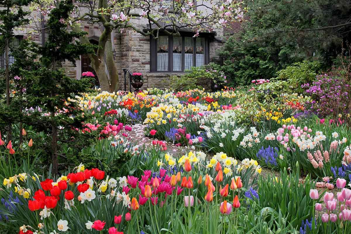 Tulpen in einem Vorgarten