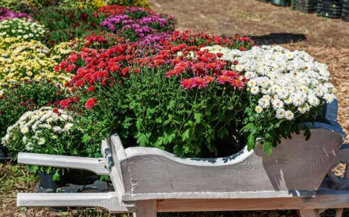 Chrysanthemen im Topf & Garten – Pflegen & Schneiden + Liste winterharter Arten