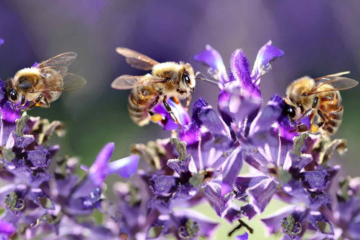 Bienen auf Salbeiblüten