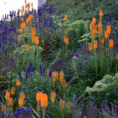 Blauer Salbei und orangene Blumen