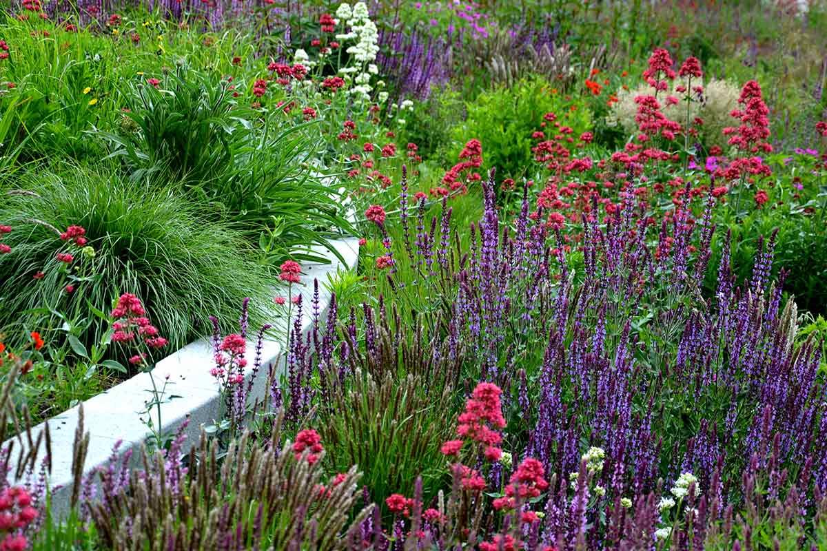 Blühender Salbei im Gartenbeet