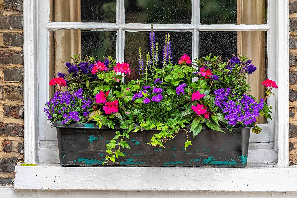 Salbei im Blumenkasten