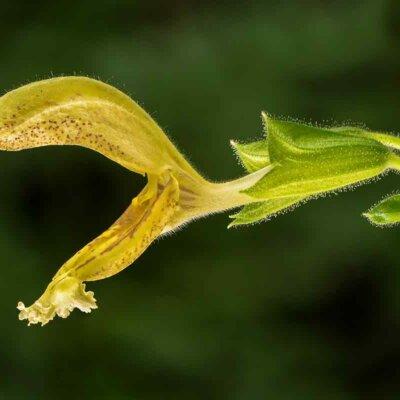 Einzelne gelbe Salbeiblüte