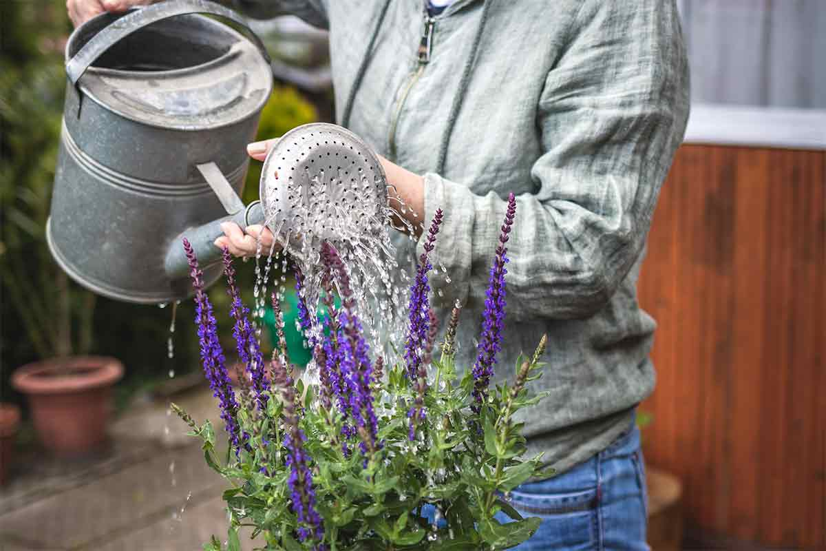 Mann gießt Salbei mit Gießkanne
