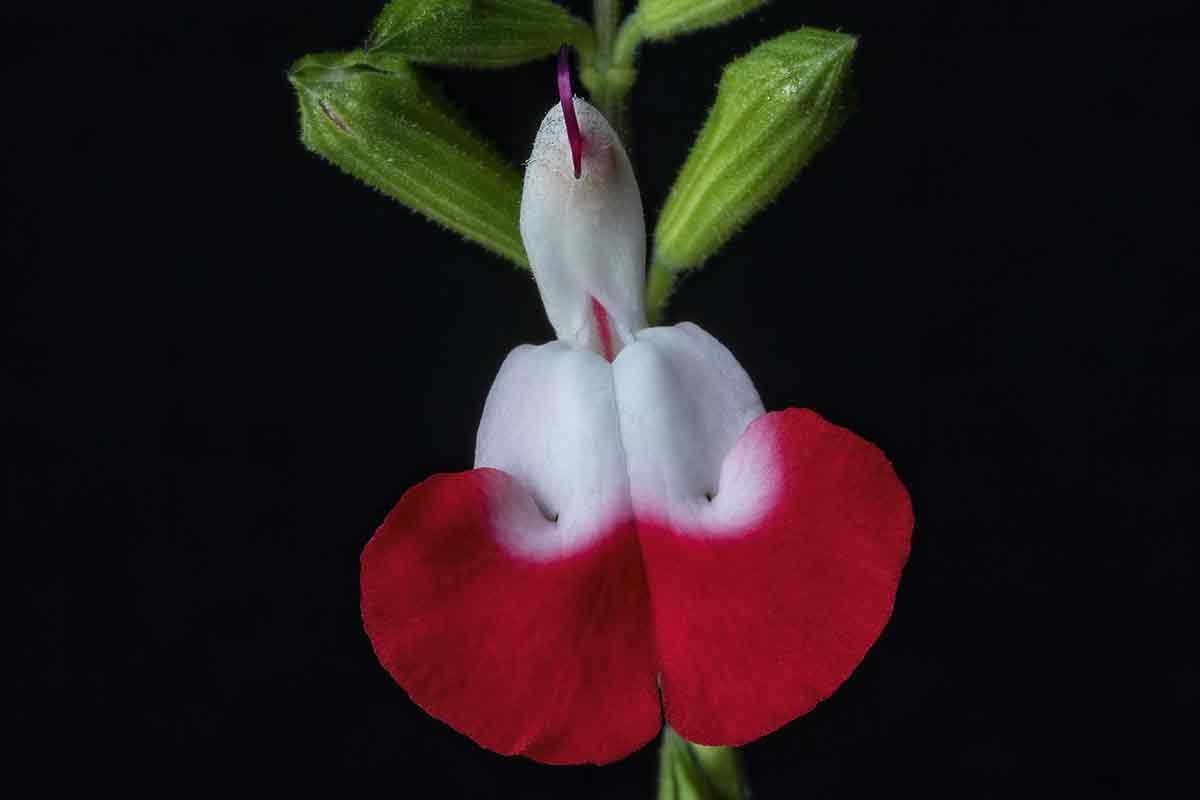 Blüte des Salbei 'Hot Lips'