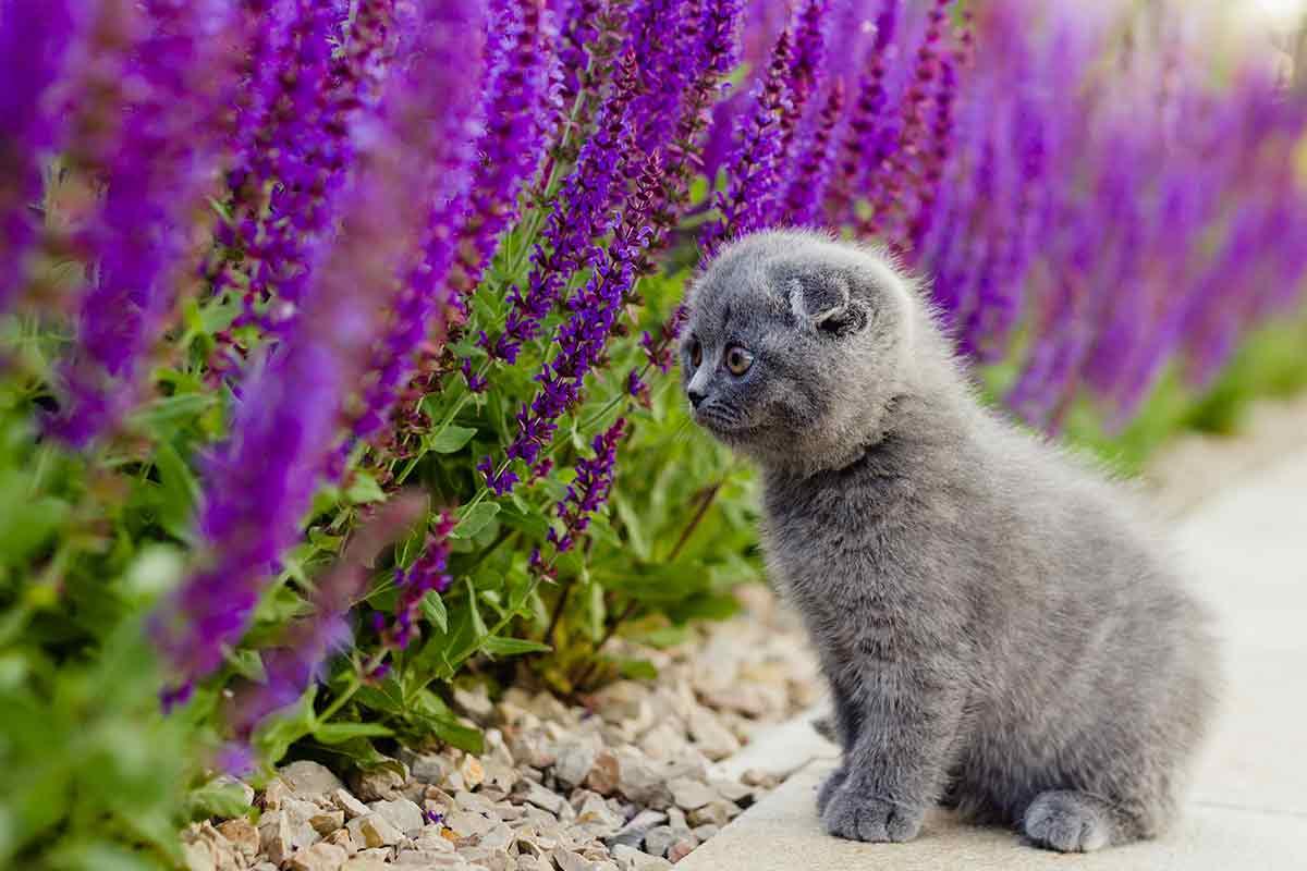 Kätzchen vor Salbei