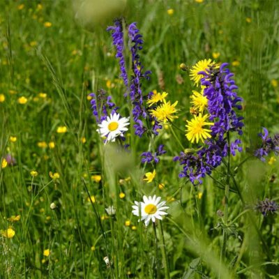 Salbei  Gänseblümchen und Löwenzahn in der Wiese