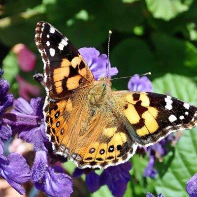 Ein Schmetterling auf einem blühenden Salbei