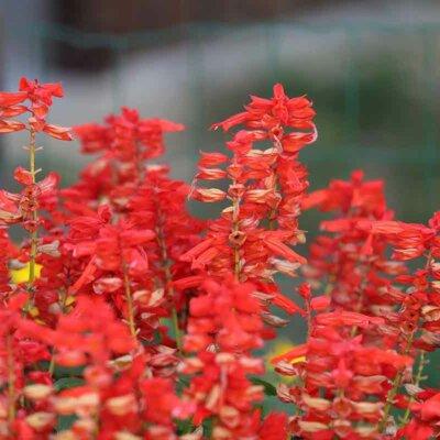 Feurig rote Salbeiblüten