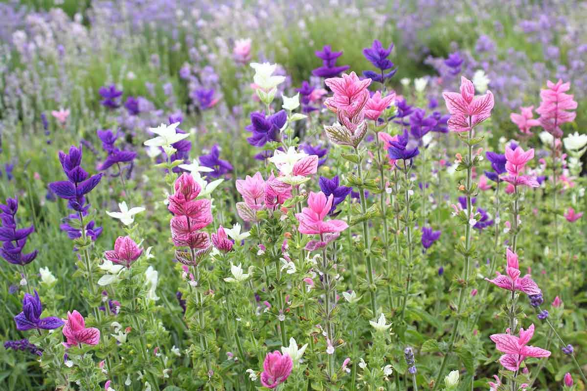 Salbei Salvia viridis