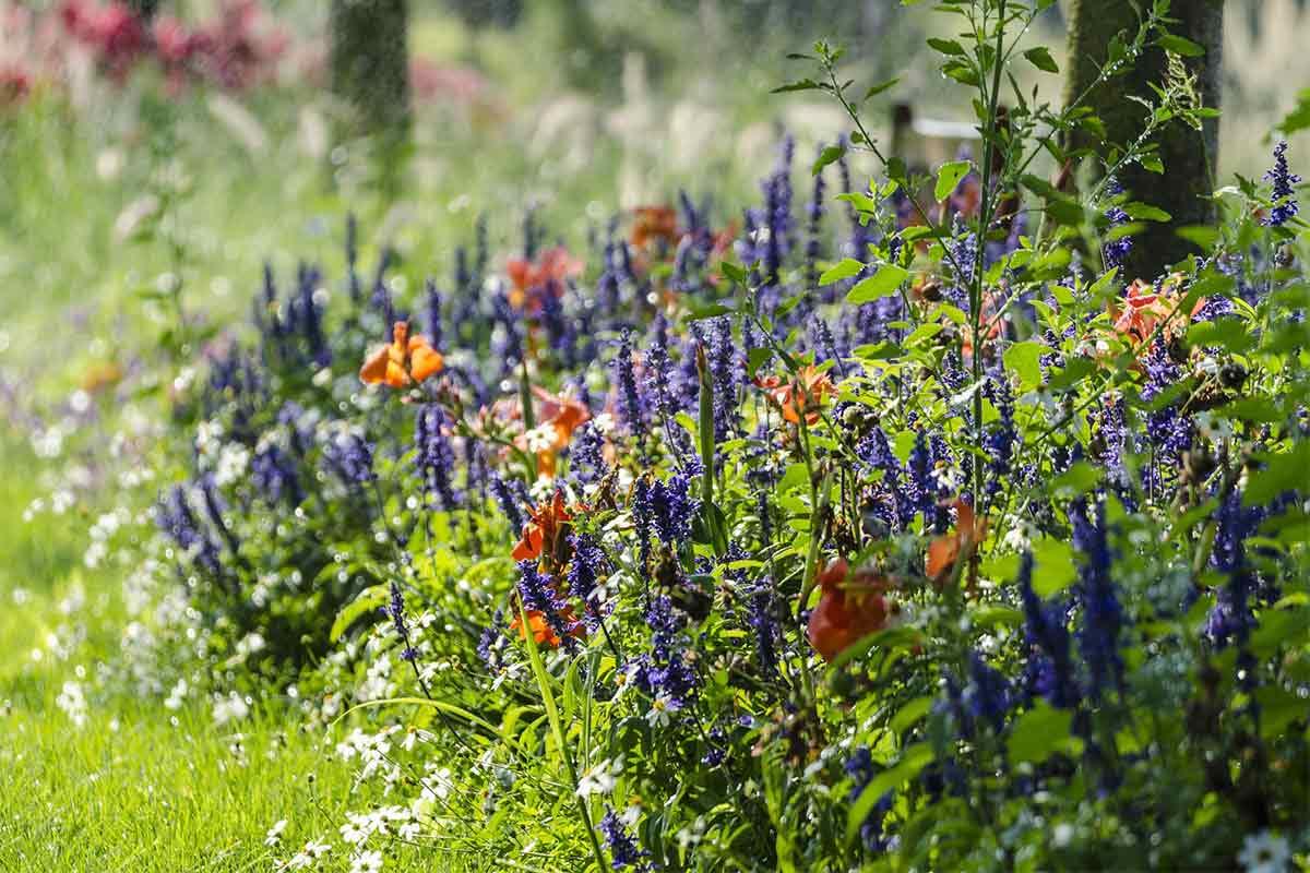Violetter Salbei im Staudenbeet