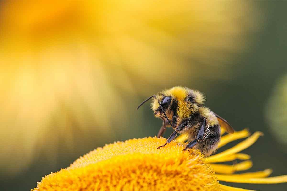 Biene auf gelber Blume