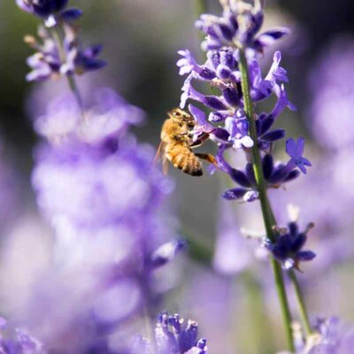 Biene auf lilafarbener Blüte