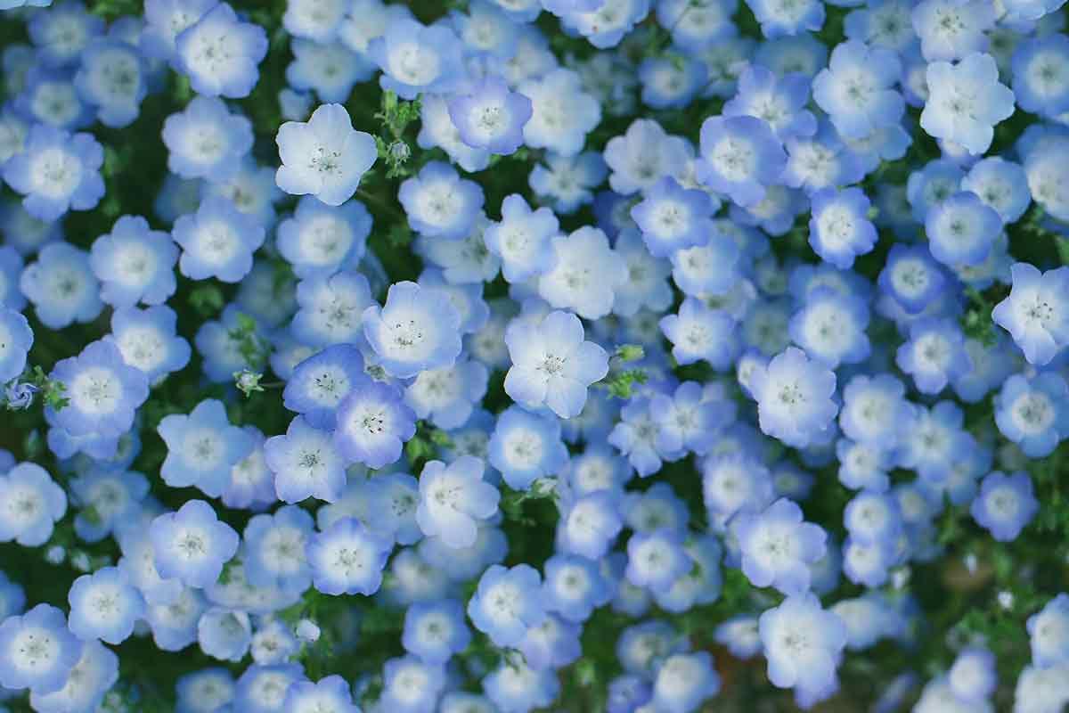 Blaue Blüten auf der Magerwiese
