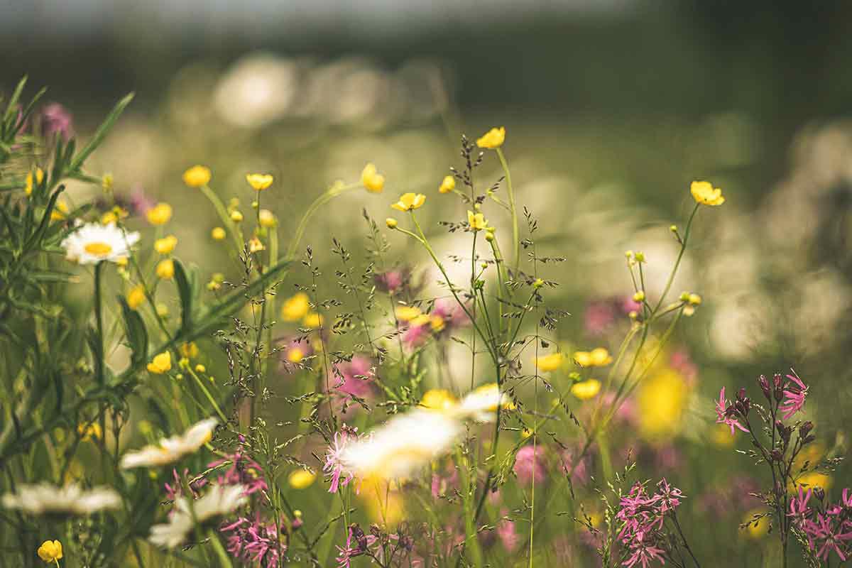 Bunte Blumen auf der Magerwiese