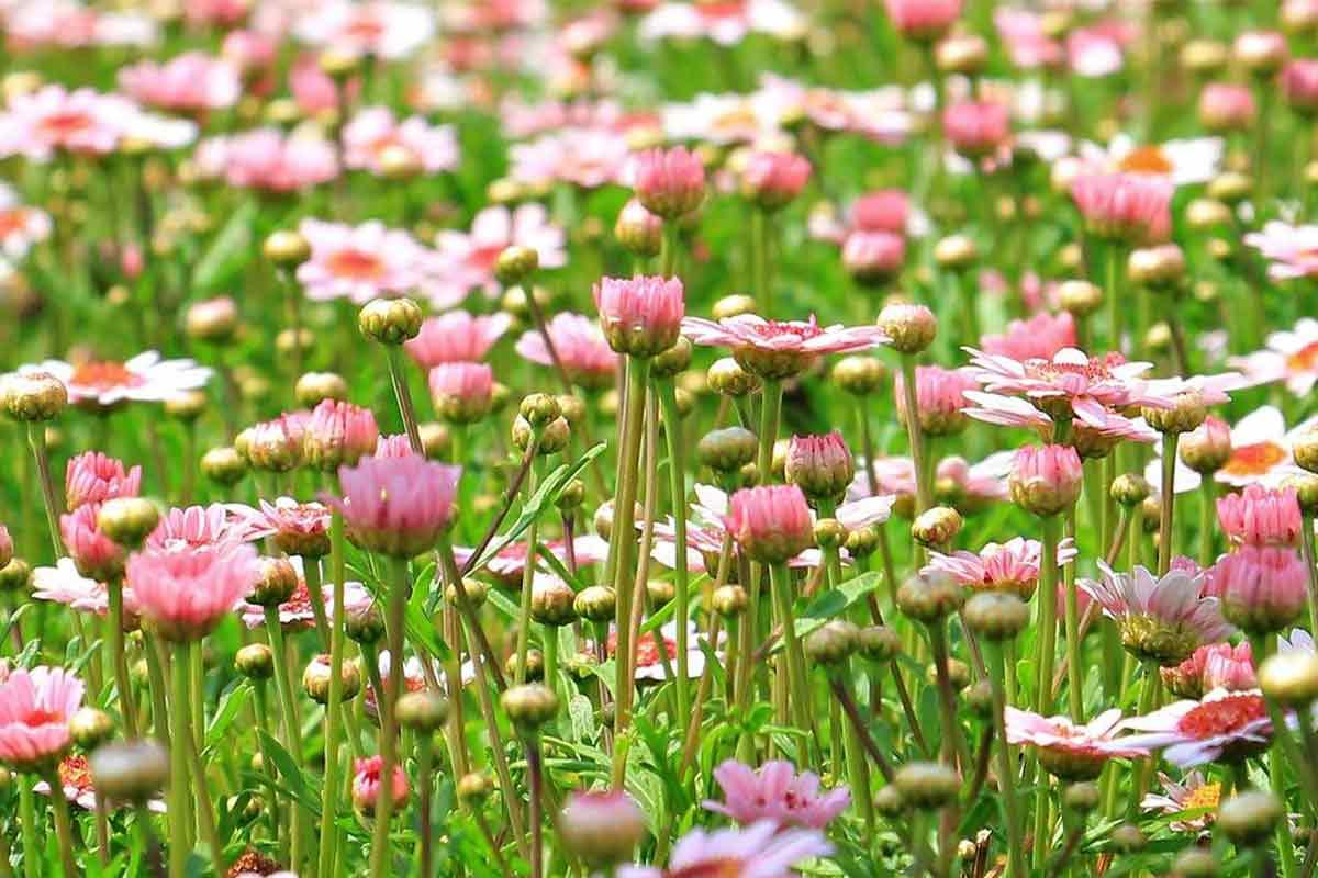 Rosa Margeriten auf der Blumenwiese