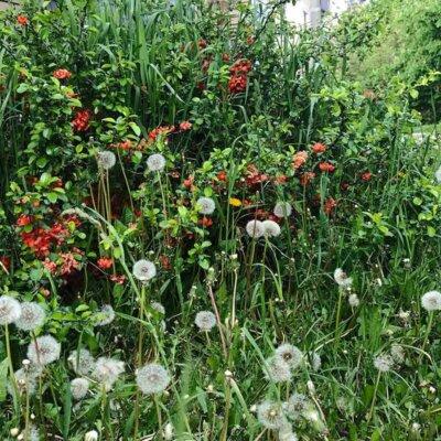 Blumenwiese mit Pusteblumen