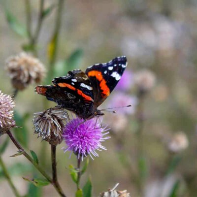 Schmetterling auf einer Distel