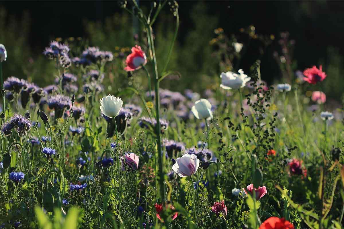 Bunte Wildblumen auf einer Blumenwiese