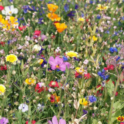 Wilde  bunte Blumenwiese