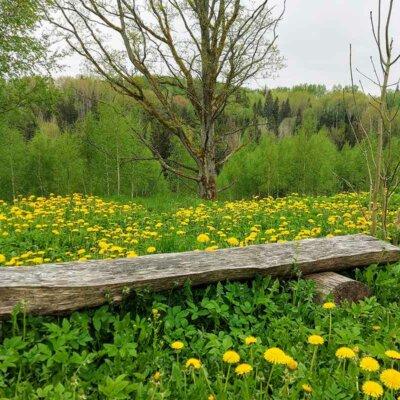 Zugewachsene Holzbank in der Wildwiese