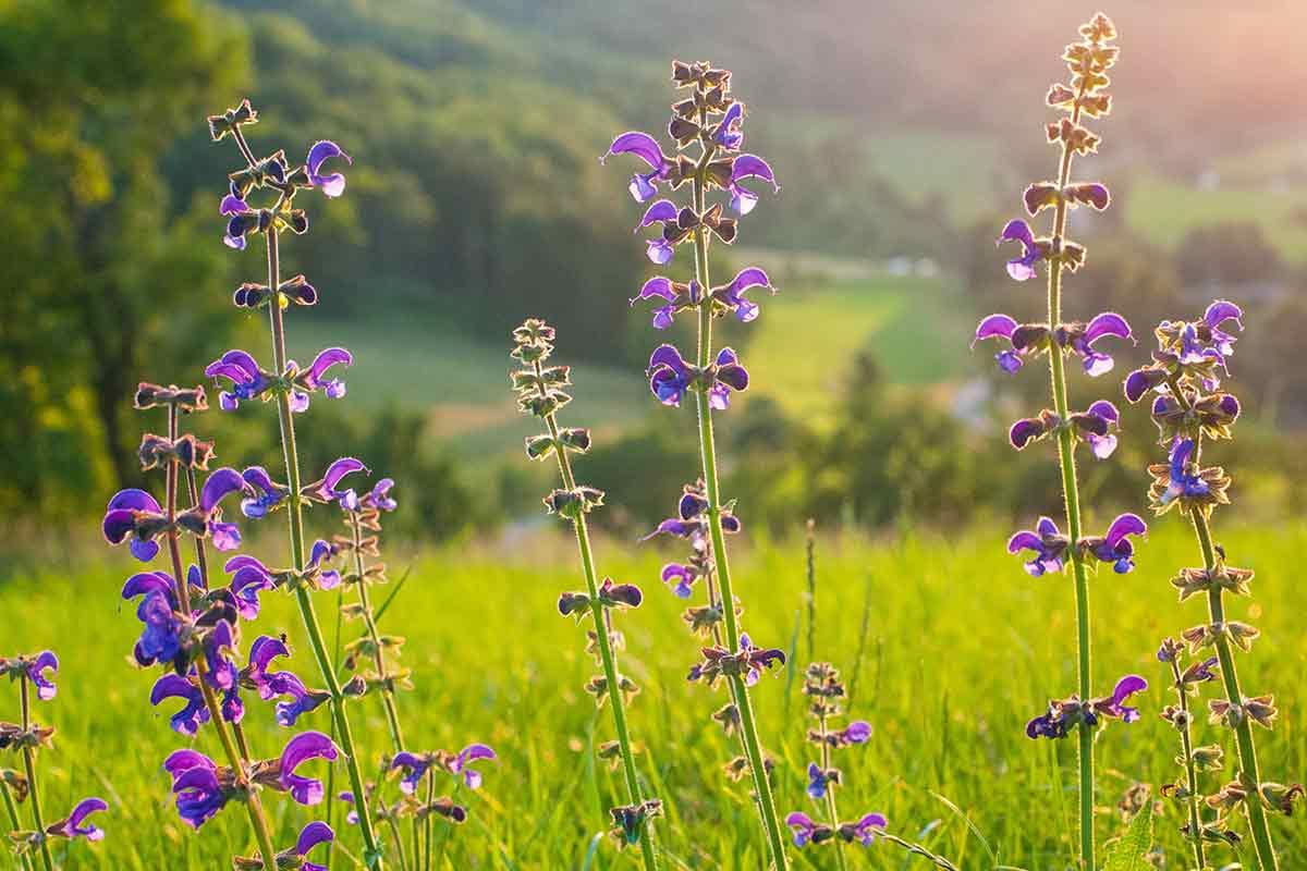 Lupine und lila Blumen auf Blumenwiese