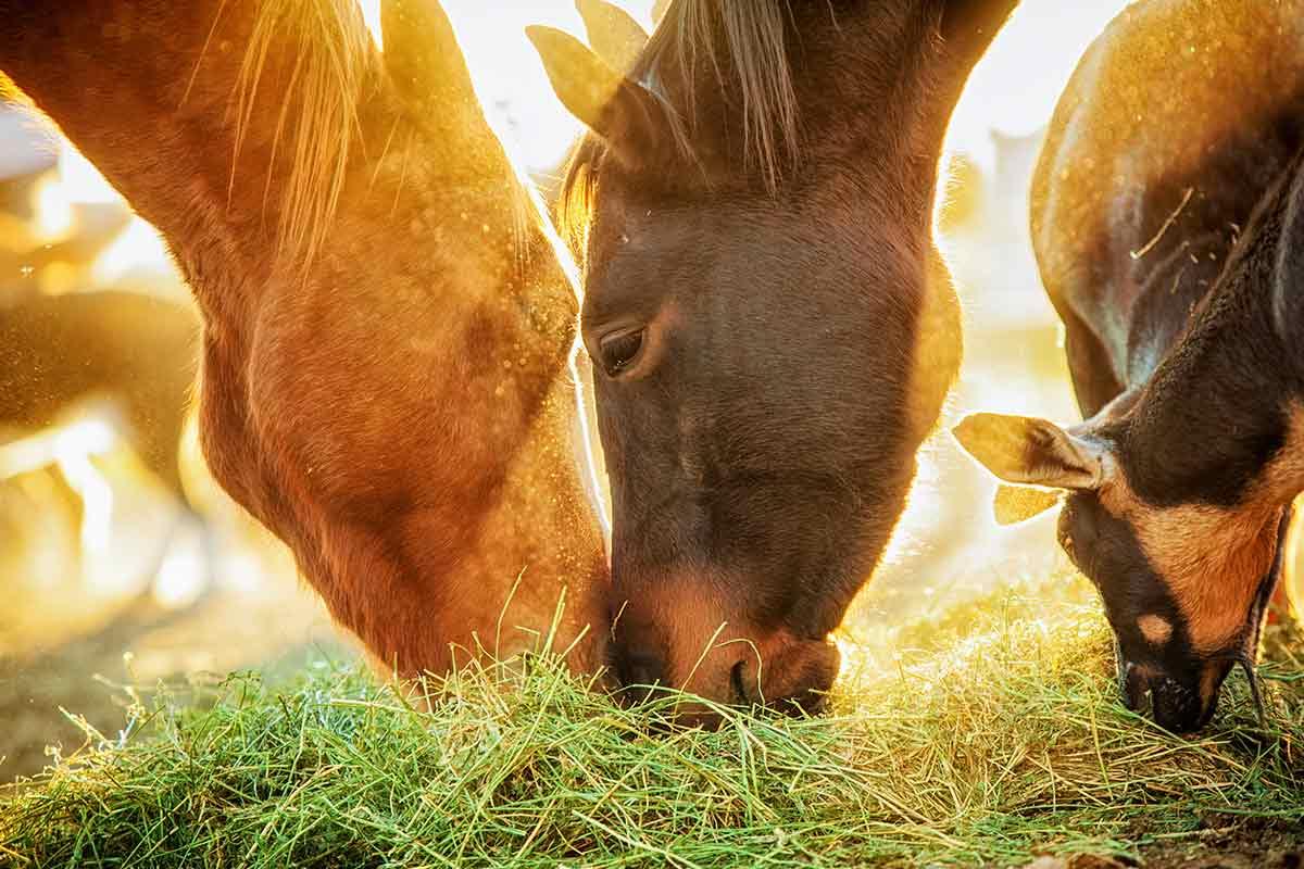 Pferde fressen Heu