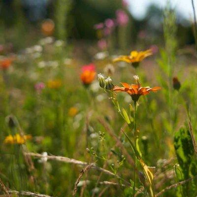 Wildblumenwiese mit orangener Blume