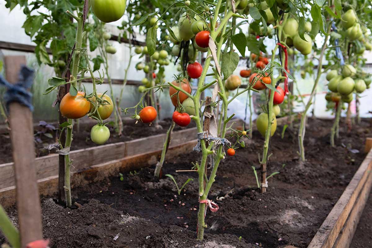 Gewächshaus mit Tomaten - Tomatenhaus