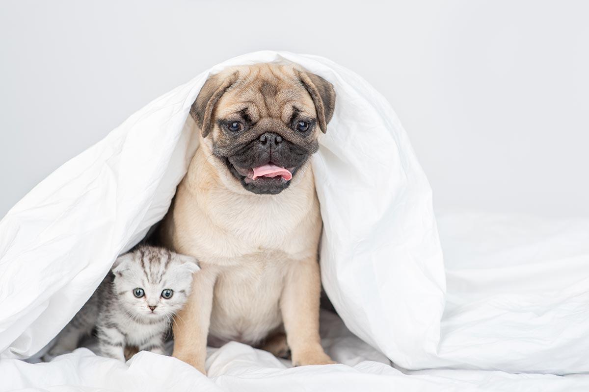 Mops und kleine Katze unter einer Decke