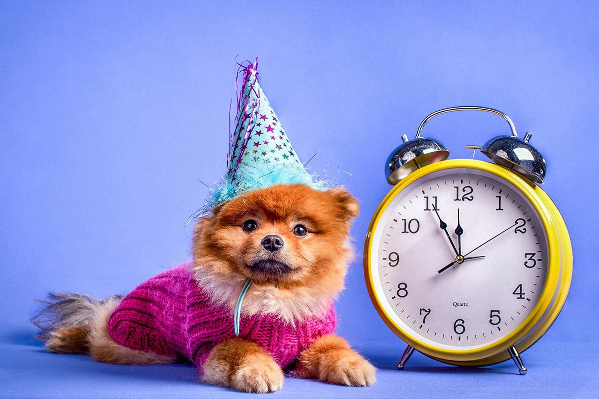 Kleiner Hund mit Geburtstagsverkleidung und Wecker