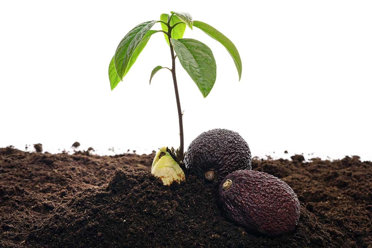 Jungpflanze mit Avocados auf Erde