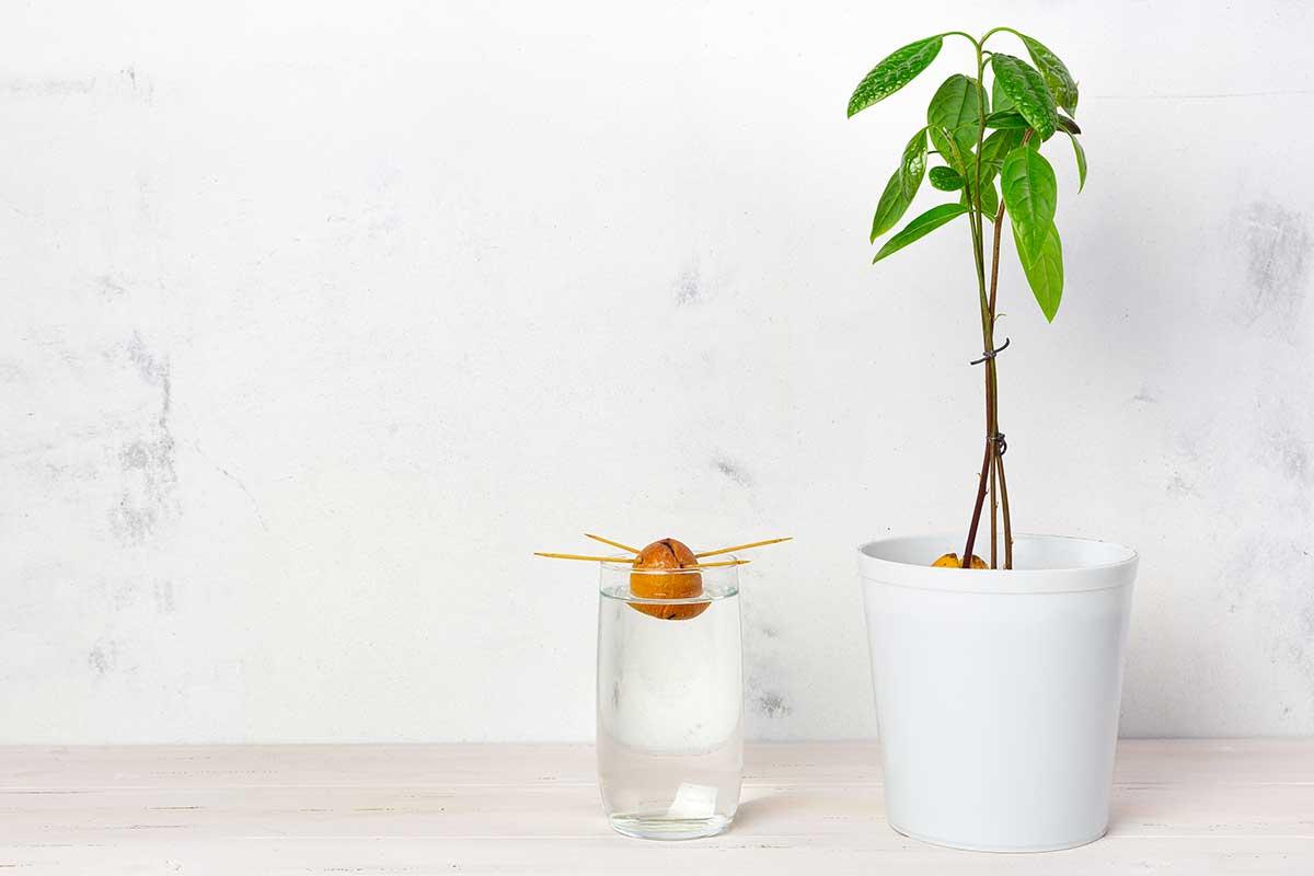 Avocado-Kern auf Zahnstochern im Wasserglas