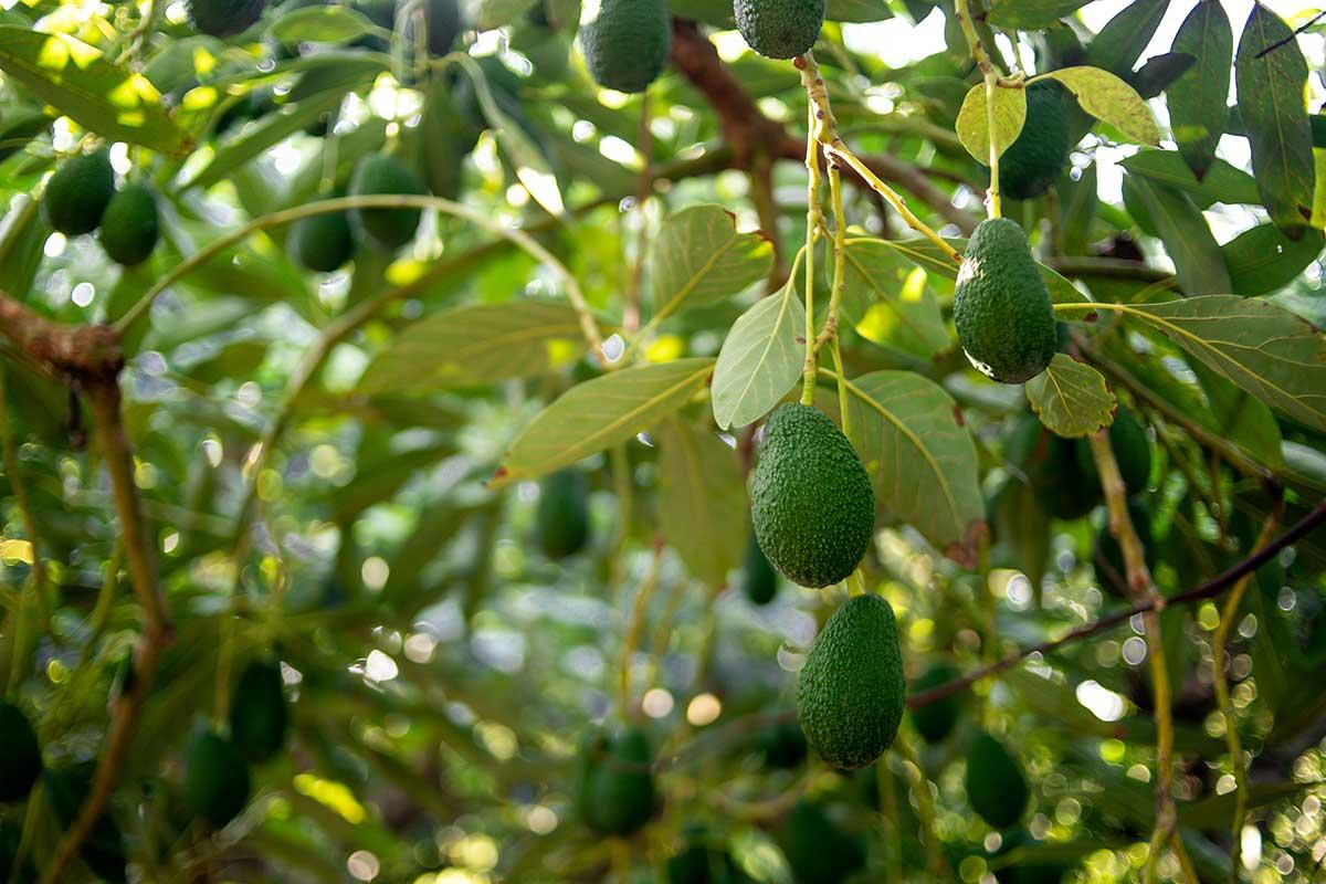 Avocado-Früchte an Plantagenbäumen