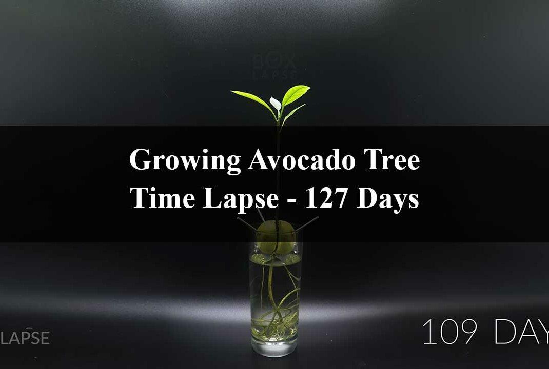 Avocado-Baum: pflanzen  züchten  Kern einpflanzen & pflegen + Rezepte zubereiten