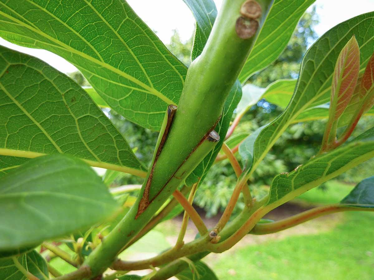 Veredelungsstelle eines Avocado-Baumes